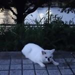 隅田川の夕涼み猫