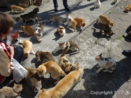 aoshima-cats104