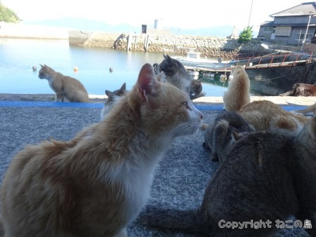 aoshima-cats106