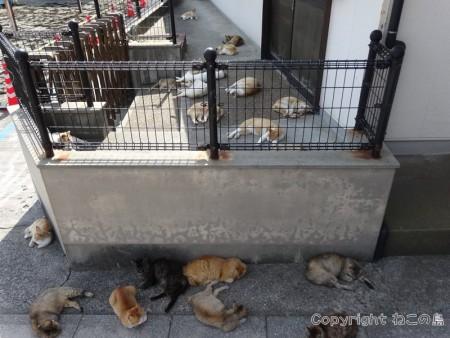 aoshima-cats109