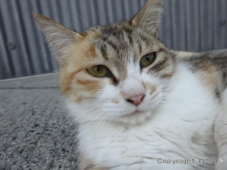 aoshima-cats116