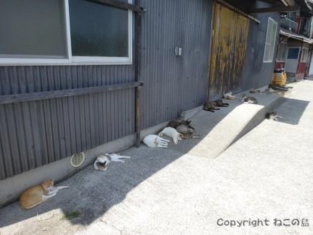 aoshima-cats131